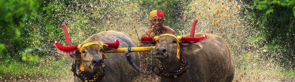 Makepung Bullock Races