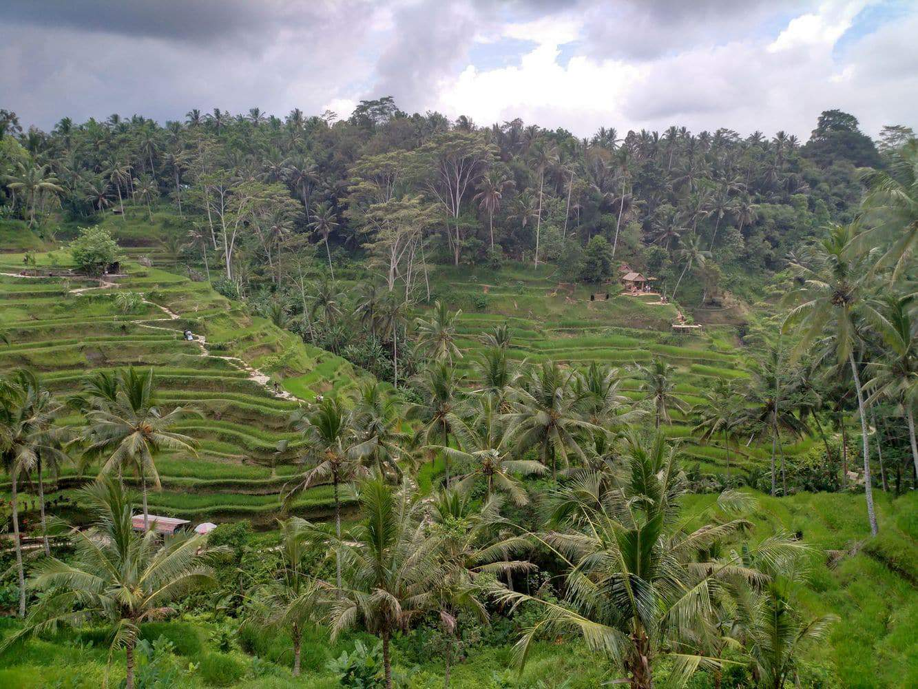 Tegallalang Rice Terrace 00005