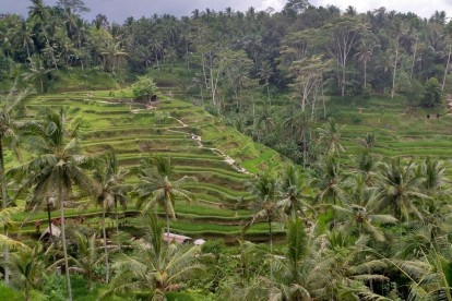 Tegallalang Rice Terrace 00008
