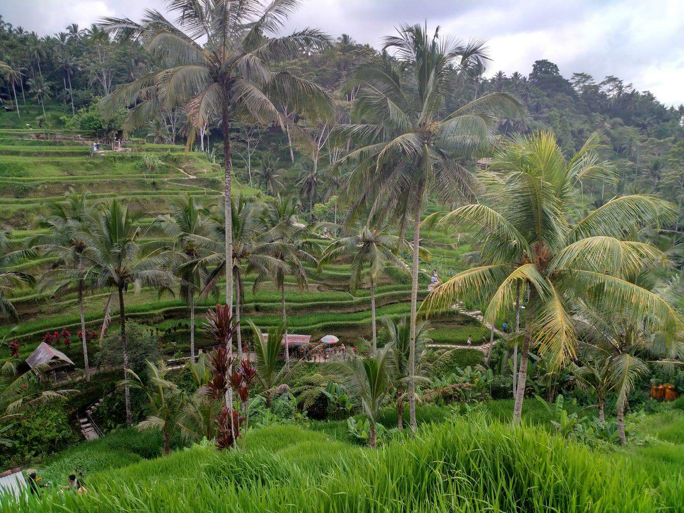 Tegallalang Rice Terrace 00014