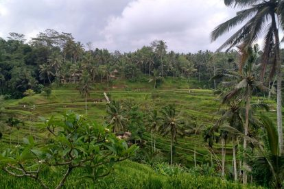 Tegallalang Rice Terrace 00017